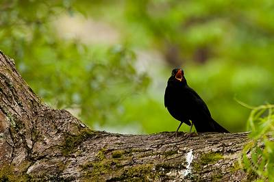 Male Blackbird singing