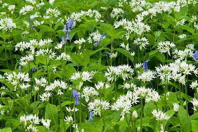 Wild Garlic and Bluebells
