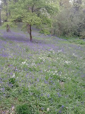 Bluebells in Clyne Park