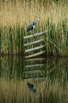 Grey Heron at the London Wetlands Centre