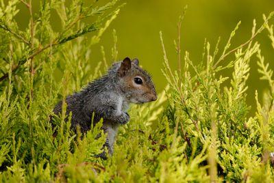 Juvenille grey squirrel after a heavy rain shower
