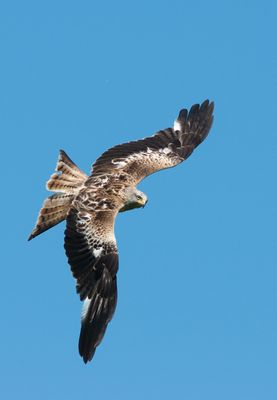 Immature red kite