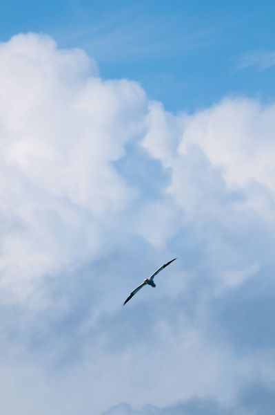 Gannet and clouds