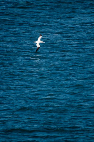 Gannet gliding over the sea