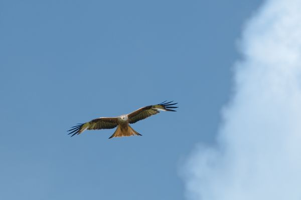 Red Kite soaring among the clouds