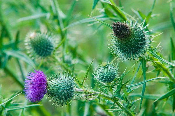 Close up of Spear Thistle