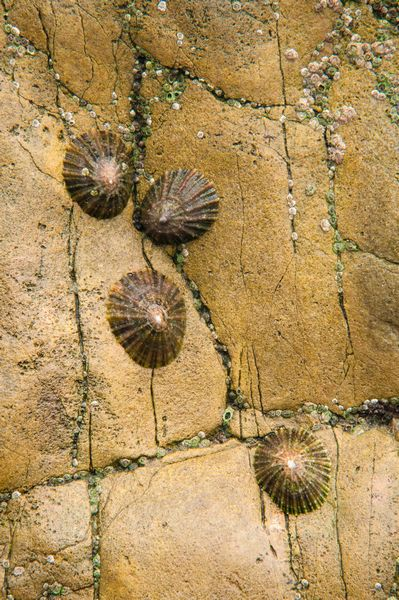 Limpets, Brandy Cove