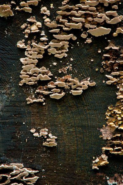 Grey Poypore Fungi