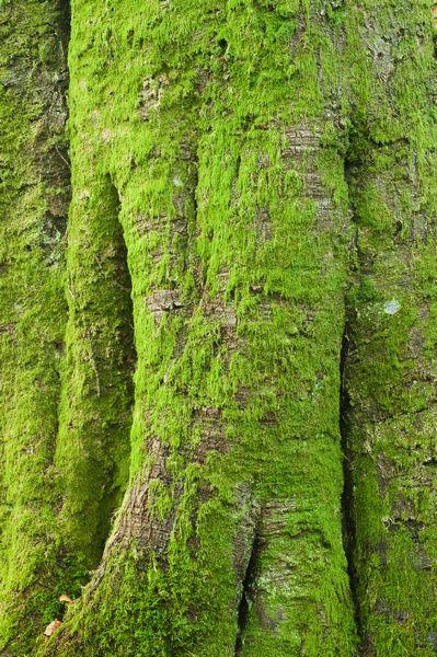 Moss covered Beech Trunk