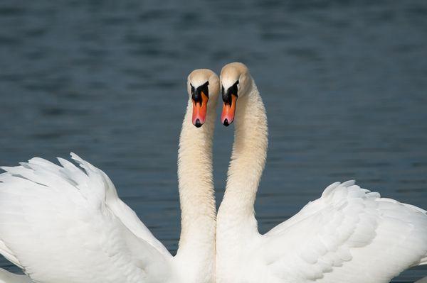 Mute Swans 'necking'