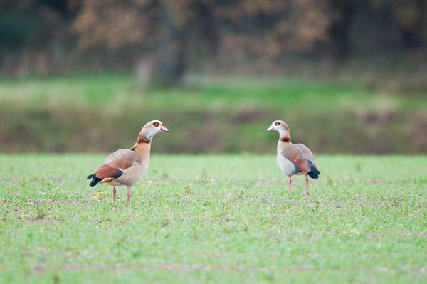 Egyptian Geese, Norfolk
