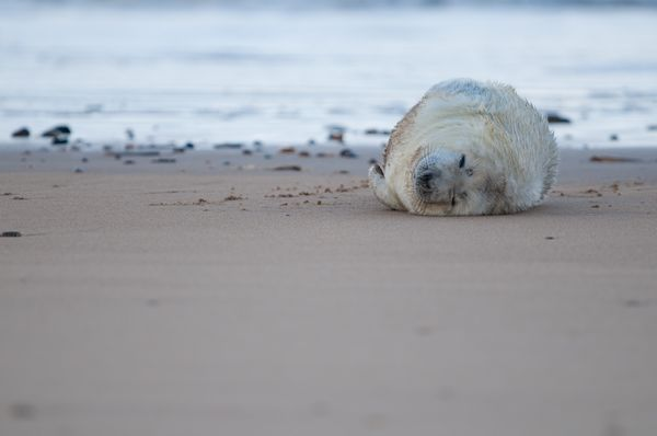 Seal pup at Blakeney Point, Norfolk