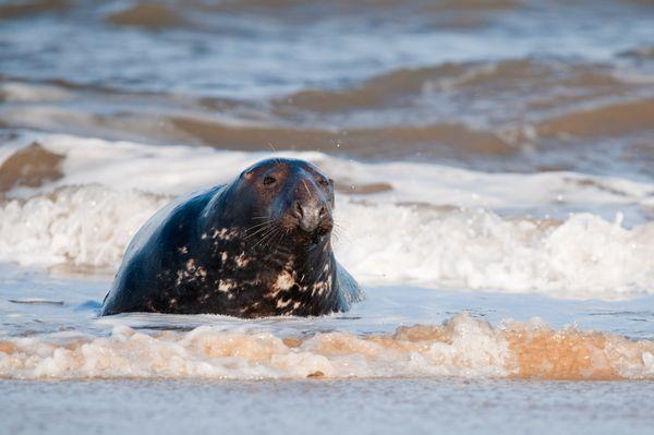Male grey seal