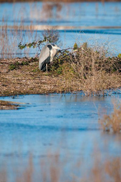 Grey Heron, WWT London Wetlands Centre