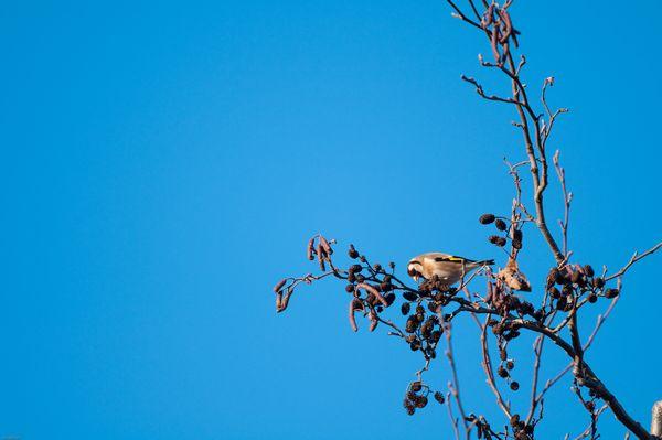 Goldfinch feeding in a tree