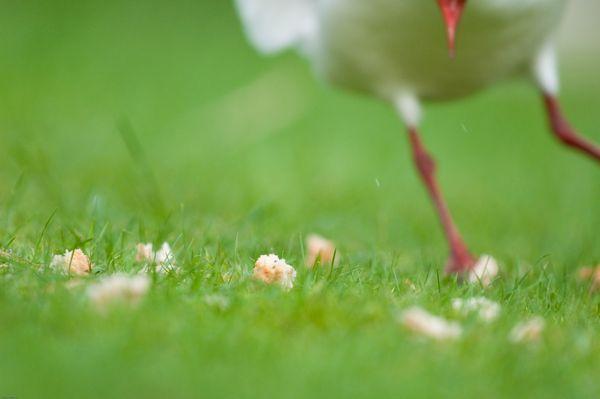 Gull feeding on bread