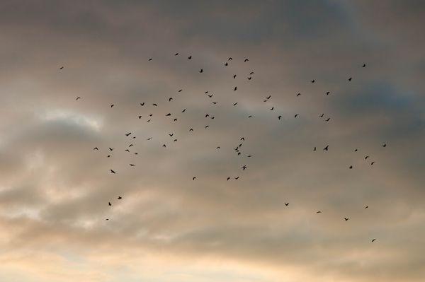 Crows gathering at sunset