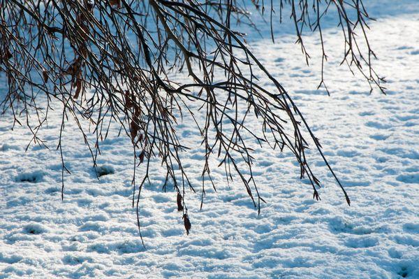 Backlit brances and snow