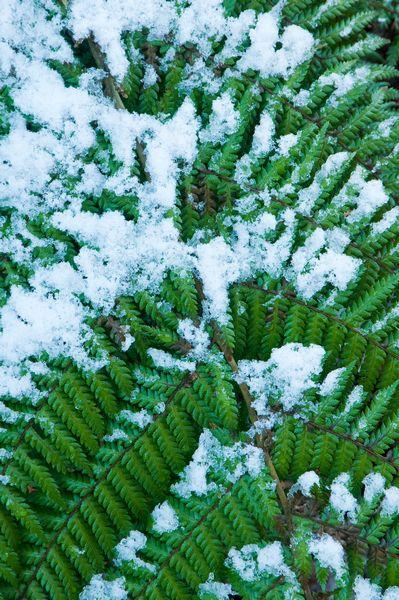 Fern in snow