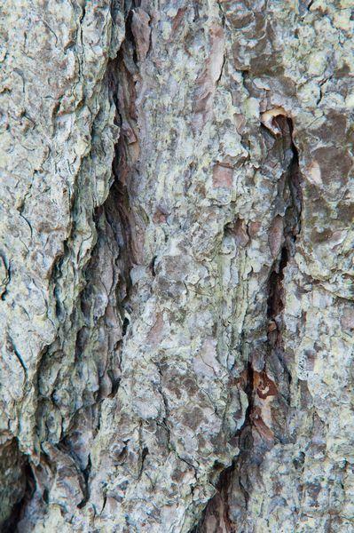 Pine Bark detail, Whiteford Burrows, Gower Peninsula