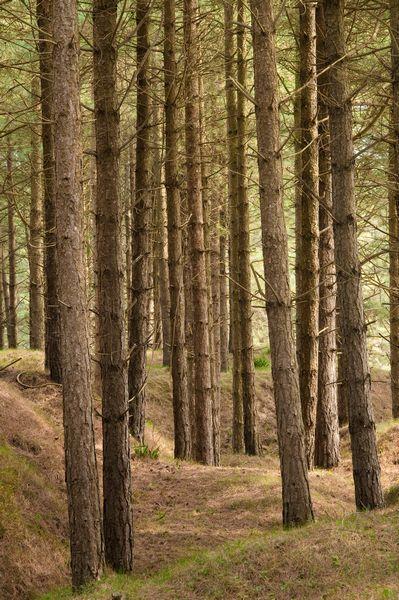 Pine trees, Whiteford Burrows, Gower Peninsula