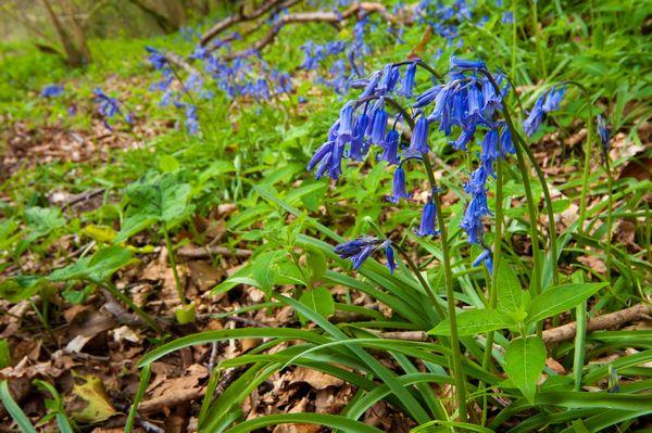 Bluebells, Ilston Valley, Gower Peninsula