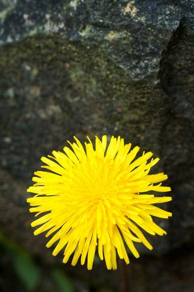 Dandelion, Ilston Valley, Gower Peninsula