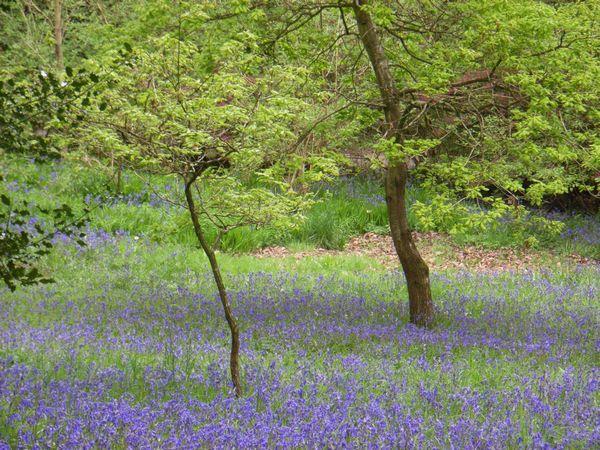 Bluebells, Clyne Gardens, Swansea