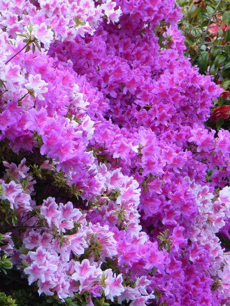 Azaleas, Clyne Gardens, Swansea