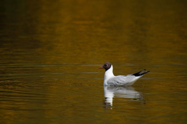Black Headed Gull with golden reflection