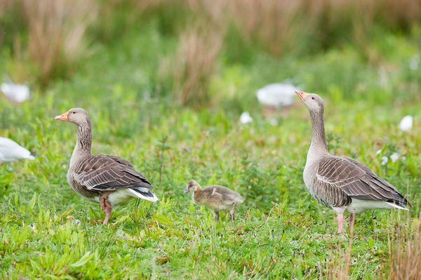 Greylag Geese Family