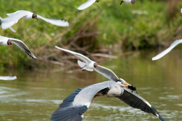 Heron and Moorhen chick mobbed by Black Headed Gulls