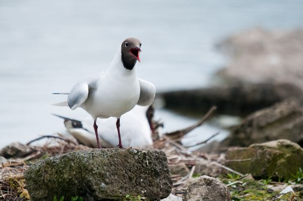 Black Headed Gull calling, WWT National Wetlands Centre Wales